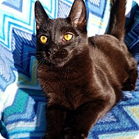 Domestic Shorthair Cat for adoption in Hornell, New York - Ace