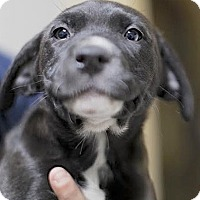 Adopt A Pet :: Violet - Lakewood, CO