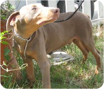 Doberman Pinscher Puppy for adoption in Sun Valley, California - Cooper