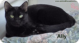 Domestic Shorthair Cat for adoption in St Louis, Missouri - Ally