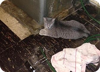Domestic Shorthair Cat for adoption in Carlisle, Pennsylvania - GarfieldCP