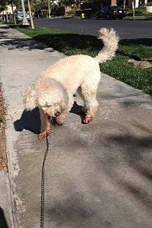 Bichon Frise/Poodle (Miniature) Mix Dog for adoption in Rancho Santa Margarita, California - zzz - Teddy