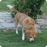 Beagle Mix Dog for adoption in Apple Valley, California - Fergie- IN A FOSTER