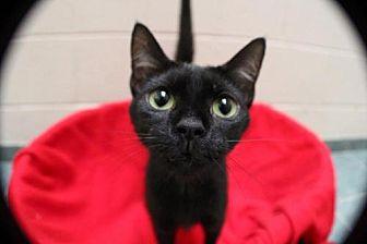 Domestic Shorthair Cat for adoption in Lima, Ohio - Bessie
