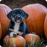Adopt A Pet :: Pancake - Austin, TX