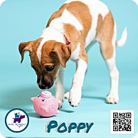 Adopt A Pet :: Poppy - Jackson, TN