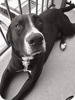 Labrador Retriever Mix Dog for adoption in Austin, Texas - Poppy