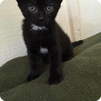 Adopt A Pet :: Cadenza - Geneseo, IL