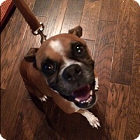 Boxer Dog for adoption in Austin, Texas - G'ma Jo