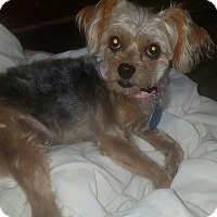 Adopt A Pet :: Lola - Detroit, MI