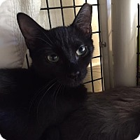 Adopt A Pet :: Sheba of Bellwood - Chicago, IL