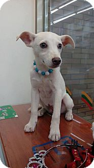 Labrador Retriever/Bernese Mountain Dog Mix Dog for adoption in Seattle, Washington - Teddy Yenchi