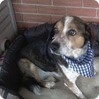 Beagle Dog for adoption in Albuquerque, New Mexico - Buddy