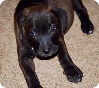 Labrador Retriever Mix Puppy for adoption in Portsmouth, New Hampshire - Ruby-ADOPTION PENDING