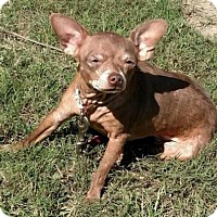 Chihuahua Dog for adoption in Tenafly, New Jersey - Maggie