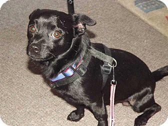 Pug/Chihuahua Mix Dog for adoption in Sumter, South Carolina - Ozzie