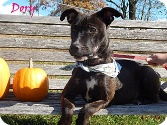 Labrador Retriever/American Pit Bull Terrier Mix Dog for adoption in Bucyrus, Ohio - Dory