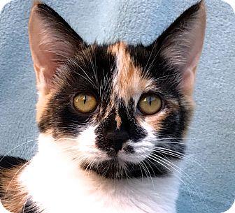 Calico Kitten for adoption in La Jolla, California - Ariel