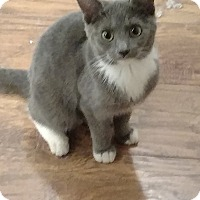 Domestic Shorthair Cat for adoption in Tampa, Florida - Nancy Wilson (heart)