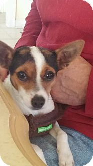 Rat Terrier/Chihuahua Mix Puppy for adoption in Germantown, Maryland - Alexis