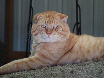 Domestic Shorthair Cat for adoption in Waller, Texas - Sol
