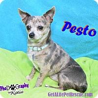 Adopt A Pet :: Pesto - Wellington, FL