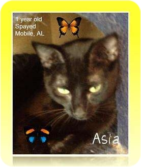 Domestic Shorthair Cat for adoption in Mobile, Alabama - Asia