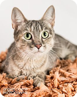 Domestic Shorthair Cat for adoption in Eagan, Minnesota - Bernadette