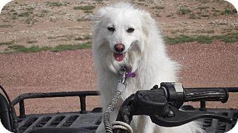 American Eskimo Dog Mix Dog for adoption in Colorado Springs, Colorado - Max in CO