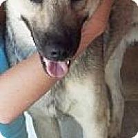 Adopt A Pet :: Wolf - Gilbert, AZ