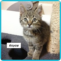 Adopt A Pet :: Royce - Miami, FL