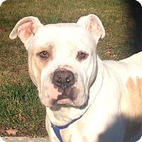Adopt A Pet :: Sugarplum - Bloomfield, CT