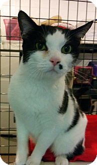 Domestic Shorthair Cat for adoption in Bonner Springs, Kansas - Bundle