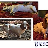 Adopt A Pet :: Blanche - Marietta, GA