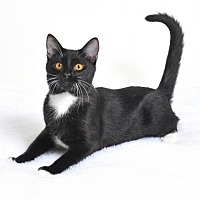 Domestic Shorthair Kitten for adoption in Roseville, California - Buster Posey