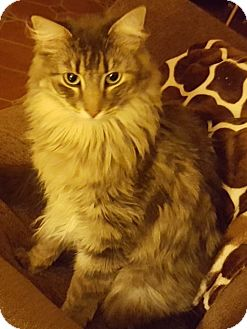 Maine Coon Cat for adoption in Tucson, Arizona - Moki