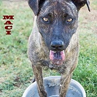 Adopt A Pet :: Maci - Patterson, CA