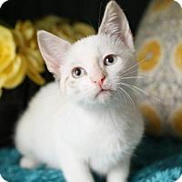Adopt A Pet :: Emorie $85 Female Kitten - knoxville, TN
