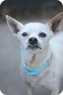 Chihuahua Mix Dog for adoption in Goleta, California - Eugene
