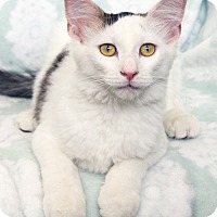 Domestic Longhair Cat for adoption in St Louis, Missouri - Frosty
