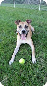 Boxer/Shepherd (Unknown Type) Mix Dog for adoption in Warren, Michigan - Scram - A Handsome Love
