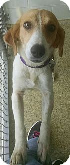 Beagle/Hound (Unknown Type) Mix Dog for adoption in Gloucester, Virginia - WILLOW