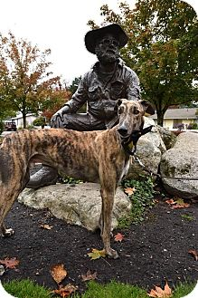 Greyhound Dog for adoption in Seattle, Washington - Rio