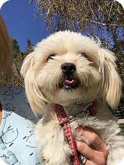 Maltese/Yorkie, Yorkshire Terrier Mix Dog for adoption in Santa Clarita, California - Jimmy