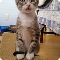 Domestic Shorthair Kitten for adoption in Tampa, Florida - Colonel Munro