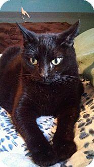 Bombay Cat for adoption in Mesa, Arizona - SKILLET