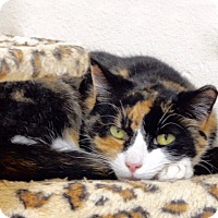 Adopt A Pet :: Calico - Long Beach, NY