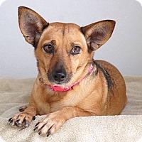 Adopt A Pet :: Foxy - Sudbury, MA