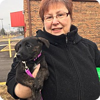 Adopt A Pet :: Rose - Elgin, IL