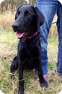 Labrador Retriever Puppy for adoption in Richmond, Virginia - Noel